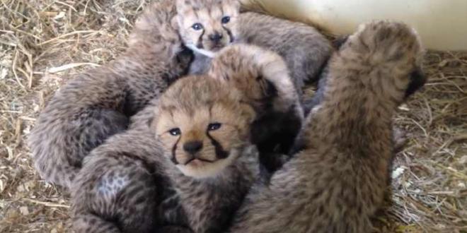 ghepardul