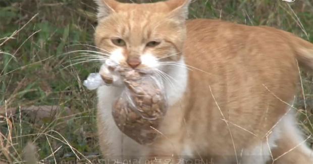 pisica duce mancarea la pui