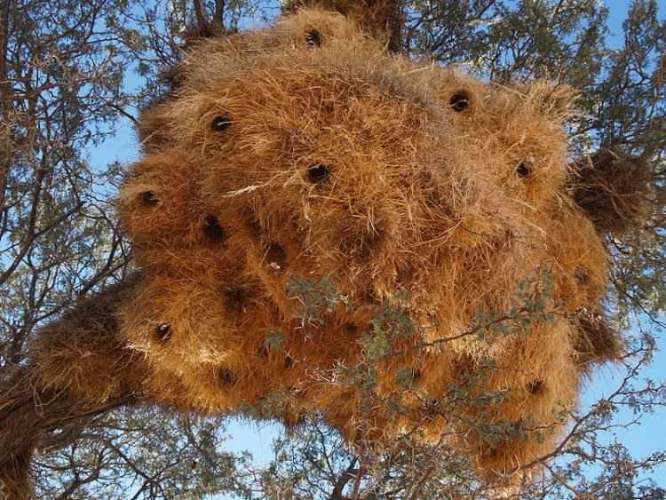 social-weaver-nests2-750x563