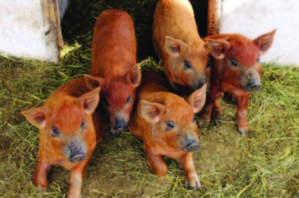 porci magalita